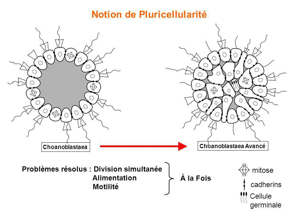 Notion de Pluricellularité