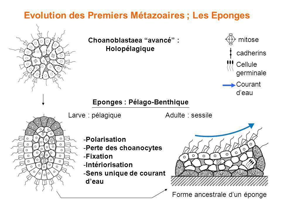Evolution des Premiers Métazoaires ; Les Eponges