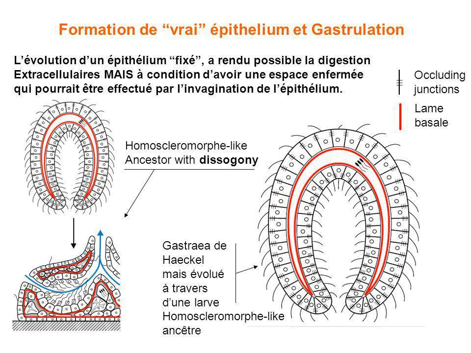 Formation de vrai épithelium et Gastrulation