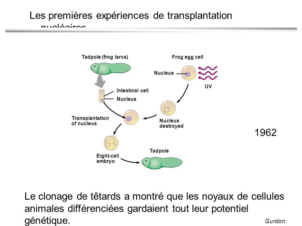 Les premières expériences de transplantation nucléaires