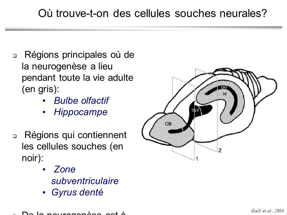 Où trouve-t-on des cellules souches neurales
