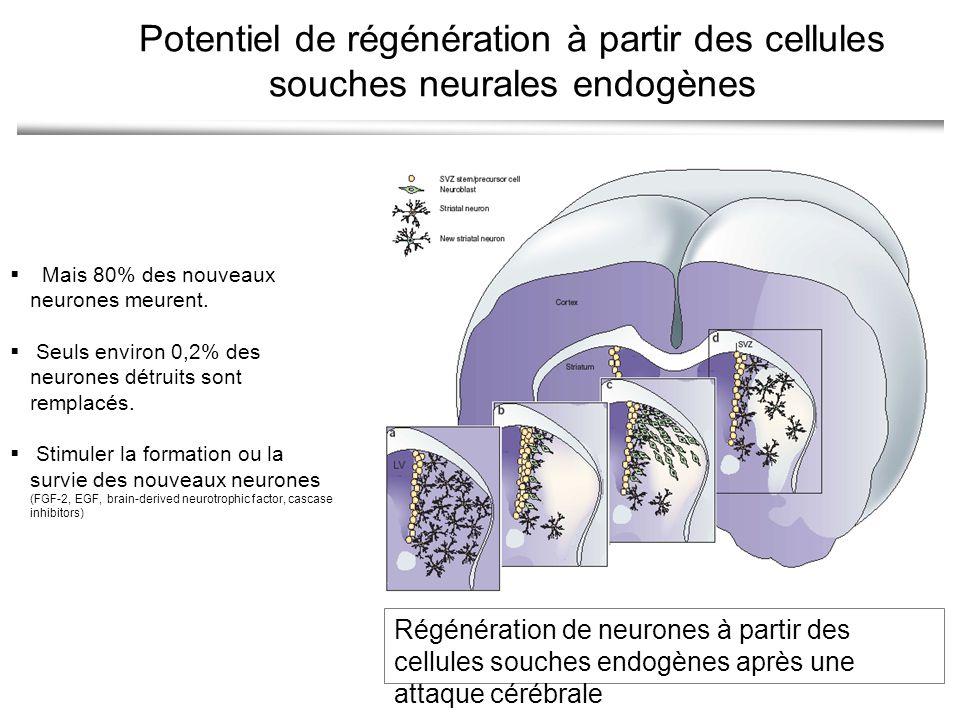 Régénération de neurones à partir des cellules souches endogènes après une attaque cérébrale