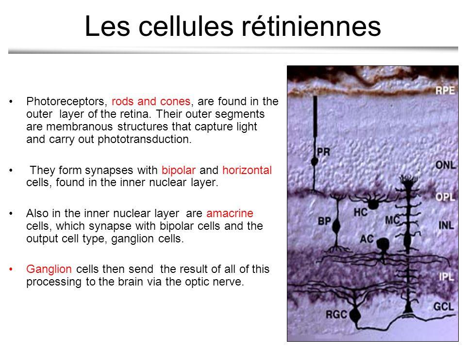 Les cellules rétiniennes