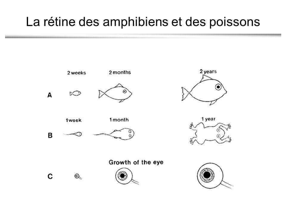 La rétine des amphibiens et des poissons