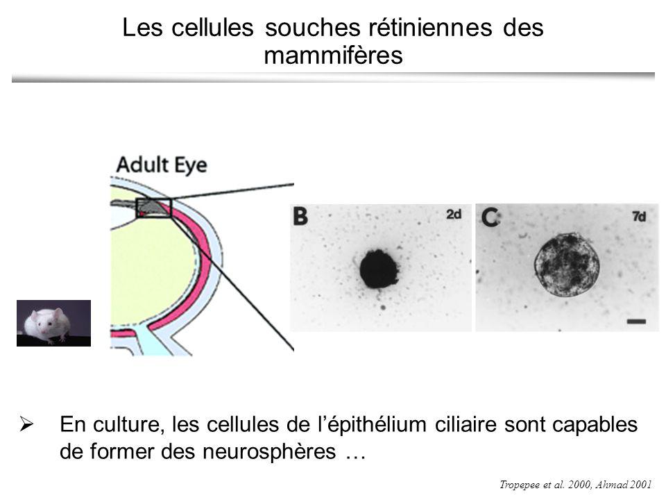 Les cellules souches rétiniennes des mammifères