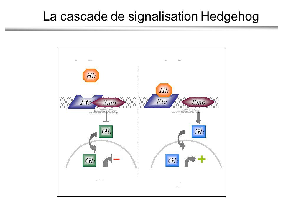 La cascade de signalisation Hedgehog
