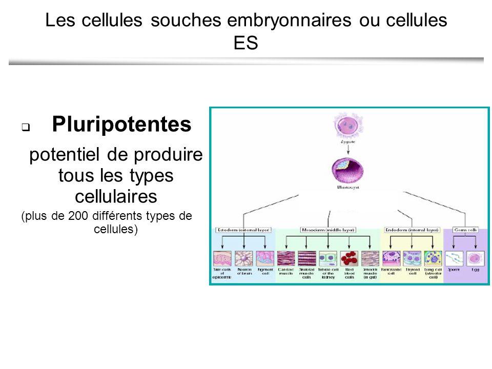 Les cellules souches embryonnaires ou cellules ES
