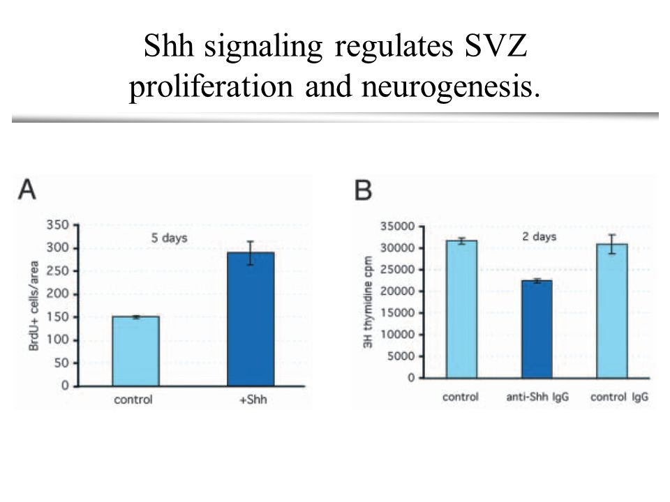 Shh signaling regulates SVZ proliferation and neurogenesis.