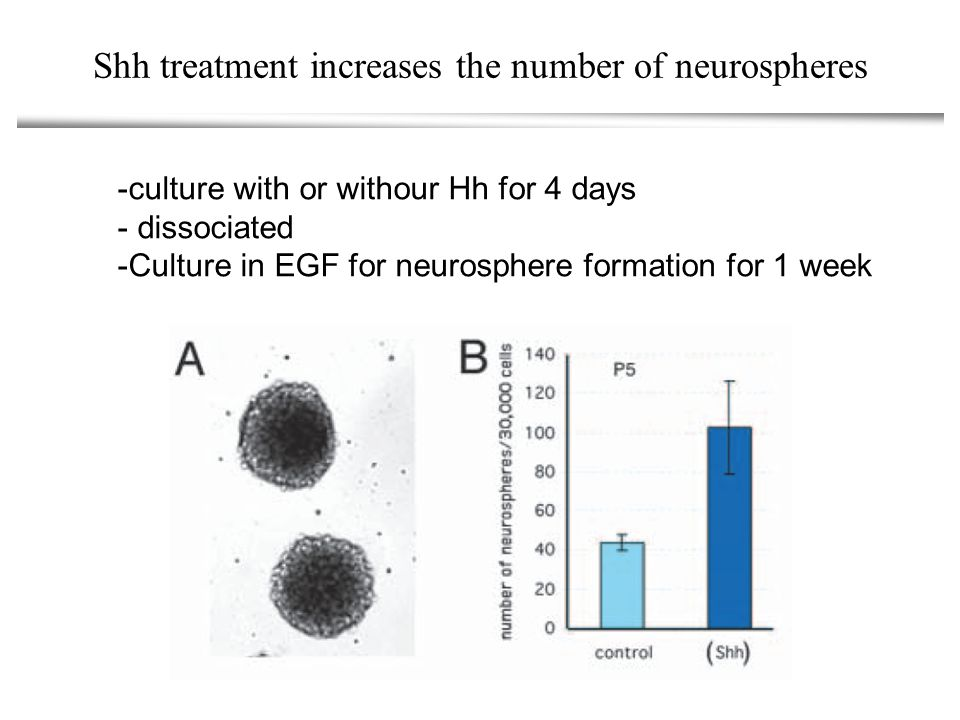 Shh treatment increases the number of neurospheres