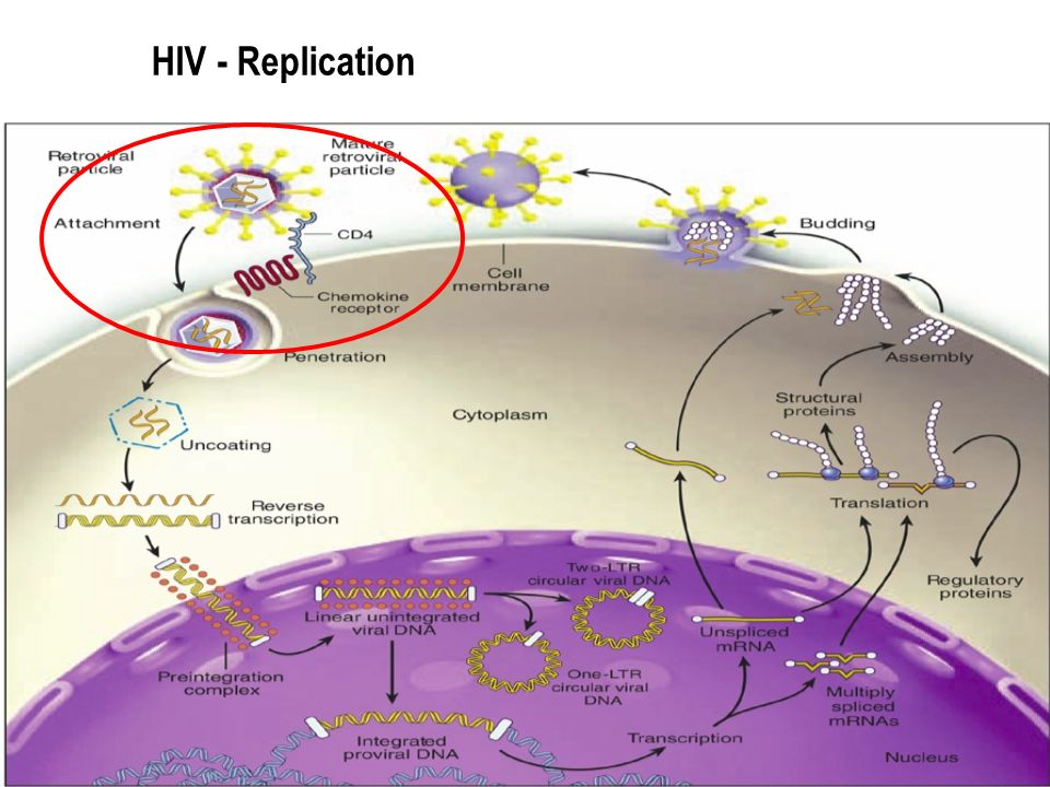 HIV - Replication 16 16 16