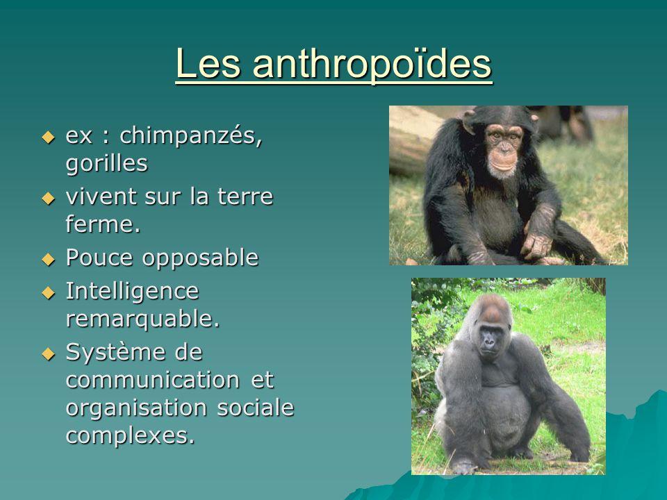 Les anthropoïdes ex : chimpanzés, gorilles vivent sur la terre ferme.