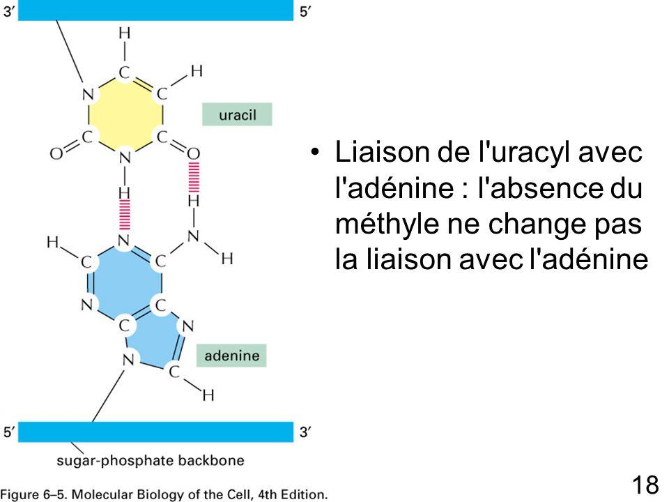 Liaison de l uracyl avec l adénine : l absence du méthyle ne change pas la liaison avec l adénine
