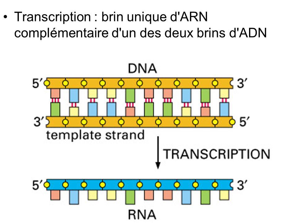 Vendredi 14 décembre 2007 Transcription : brin unique d ARN complémentaire d un des deux brins d ADN.