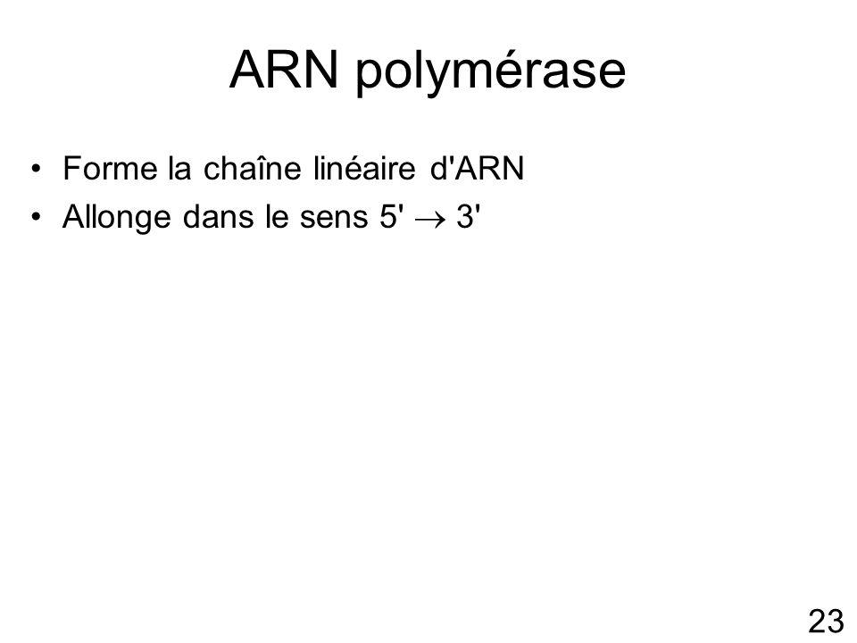ARN polymérase Forme la chaîne linéaire d ARN