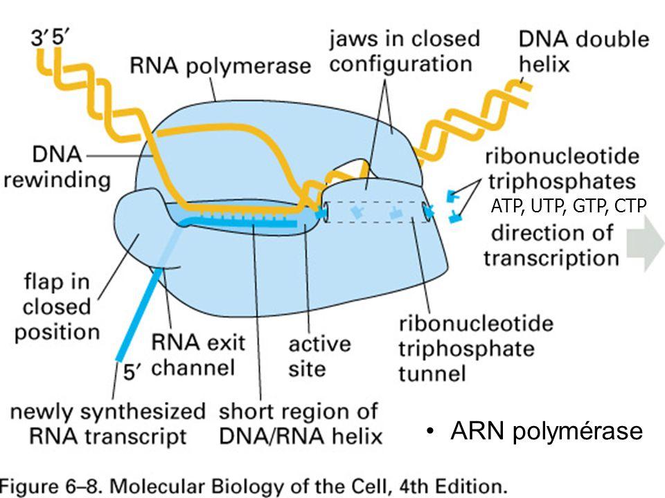 Fig 6-8 p 305 ARN polymérase #2p303 ATP, UTP, GTP, CTP
