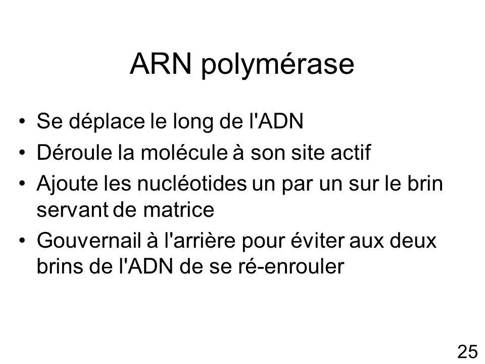 ARN polymérase Se déplace le long de l ADN
