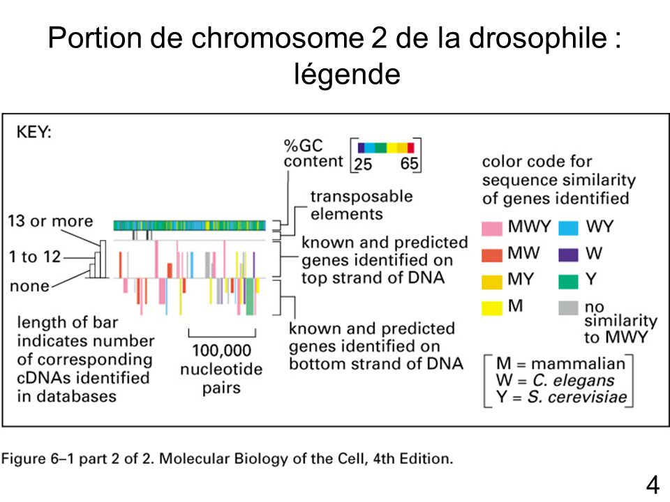 Portion de chromosome 2 de la drosophile : légende