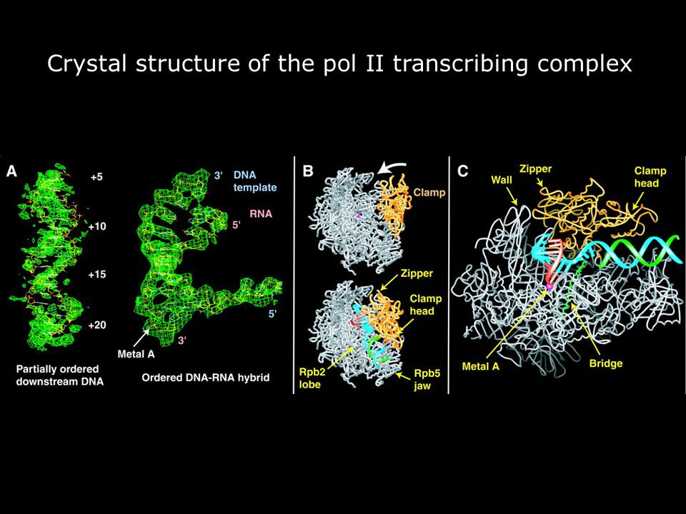 Vendredi 14 décembre 2007 Crystal structure of the pol II transcribing complex. Gnatt,AL2001p1876fig2.