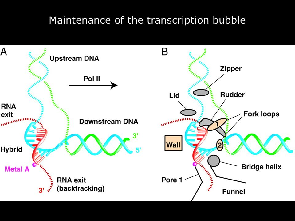 Gnatt,AL2001p1876fig4 Fig. 4. Maintenance of the transcription bubble.