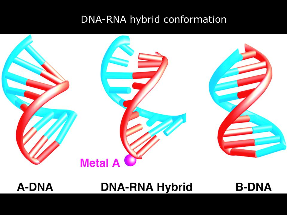 Vendredi 14 décembre 2007 DNA-RNA hybrid conformation.