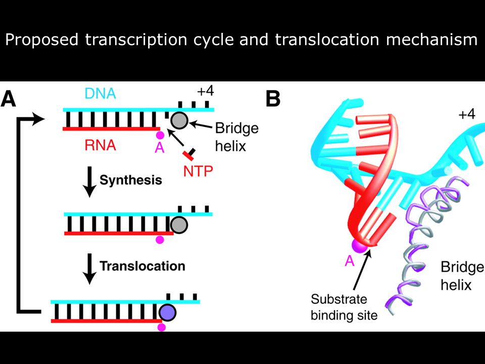 Vendredi 14 décembre 2007 Proposed transcription cycle and translocation mechanism.
