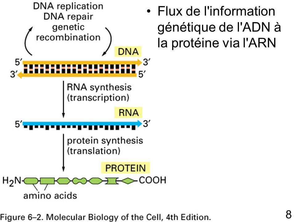 Flux de l information génétique de l ADN à la protéine via l ARN