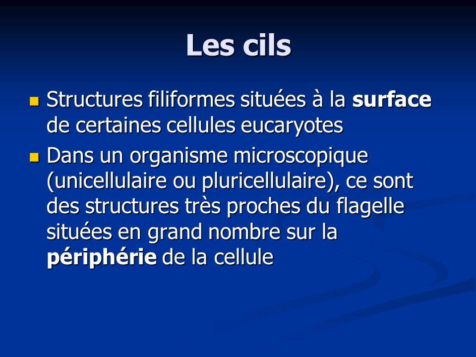 Les cils Structures filiformes situées à la surface de certaines cellules eucaryotes.