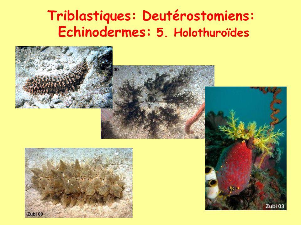 Triblastiques: Deutérostomiens: Echinodermes: 5. Holothuroïdes