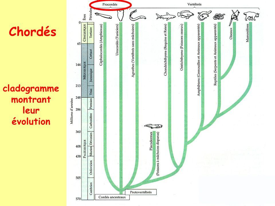 Chordés cladogramme montrant leur évolution