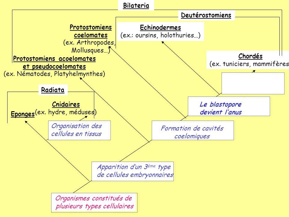 Protostomiens acoelomates