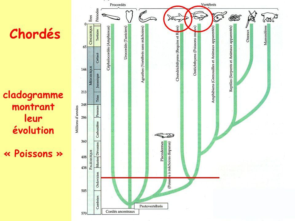 Chordés cladogramme montrant leur évolution « Poissons »