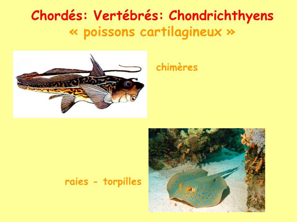 Chordés: Vertébrés: Chondrichthyens « poissons cartilagineux »