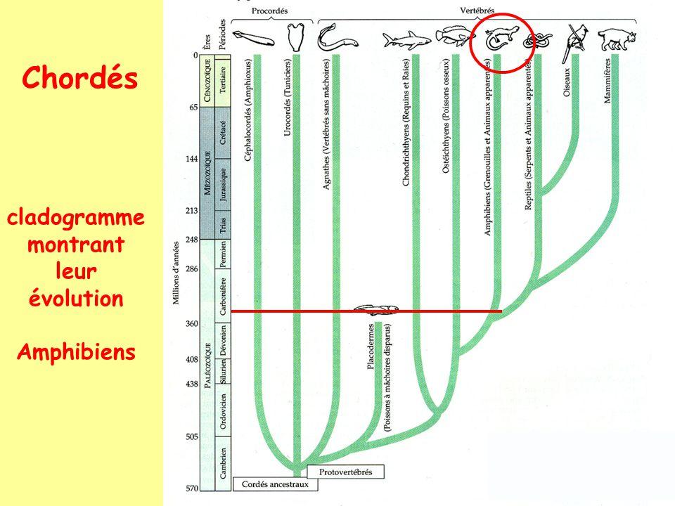 Chordés cladogramme montrant leur évolution Amphibiens