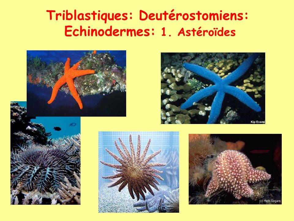 Triblastiques: Deutérostomiens: Echinodermes: 1. Astéroïdes