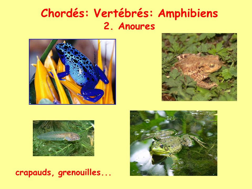 Chordés: Vertébrés: Amphibiens