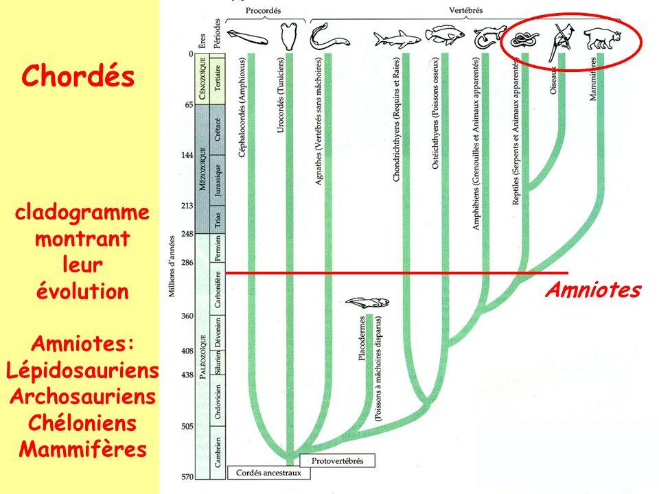 Chordés cladogramme montrant leur évolution Amniotes: Lépidosauriens