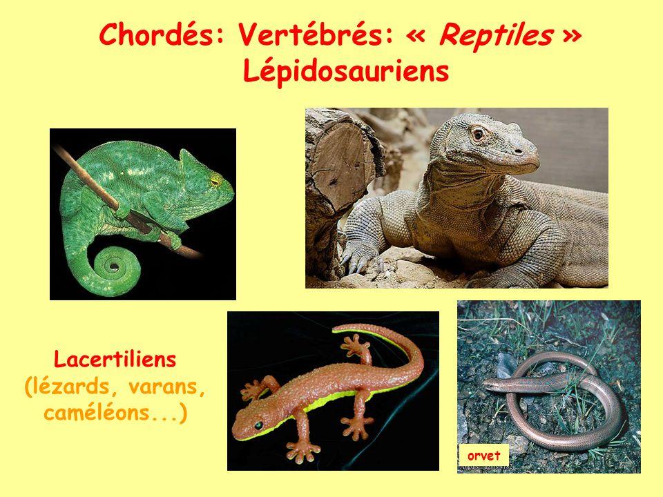 Chordés: Vertébrés: « Reptiles »