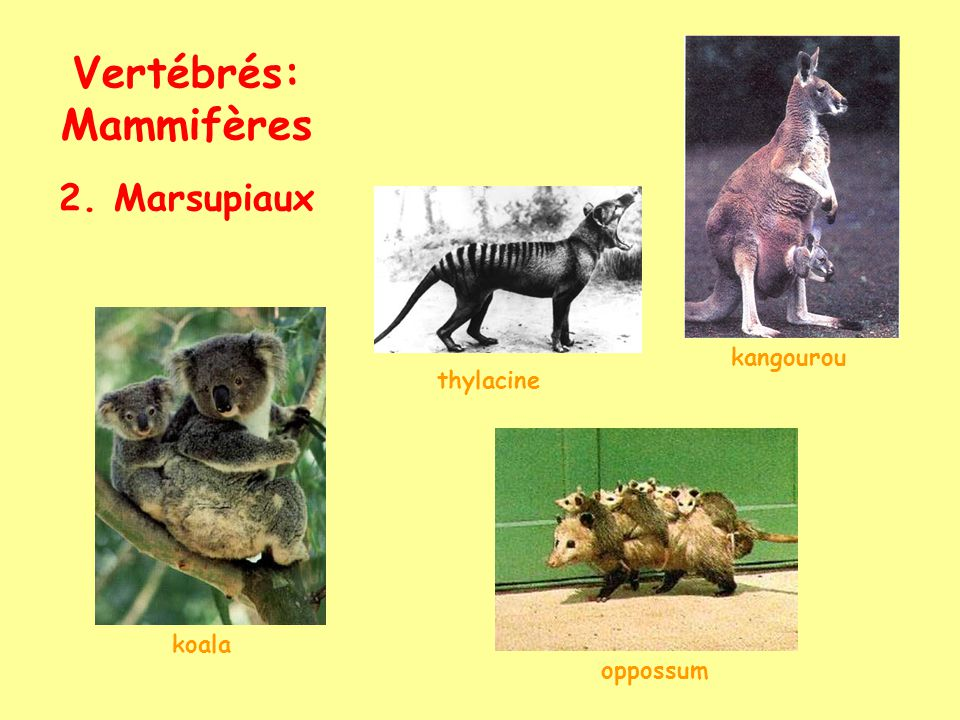 Vertébrés: Mammifères