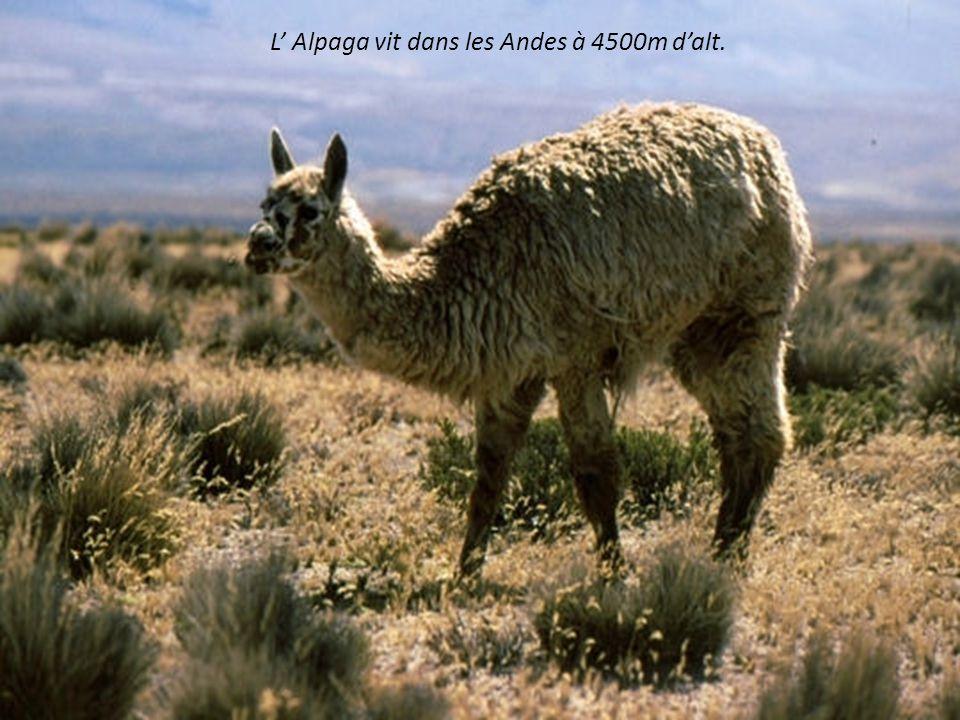 L' Alpaga vit dans les Andes à 4500m d'alt.