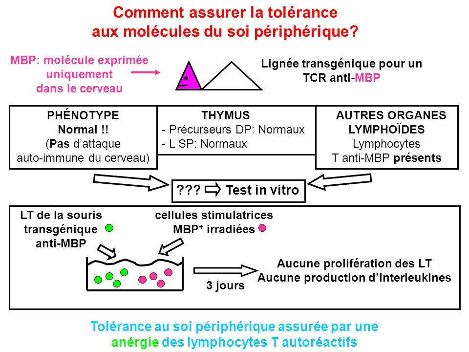 Comment assurer la tolérance aux molécules du soi périphérique