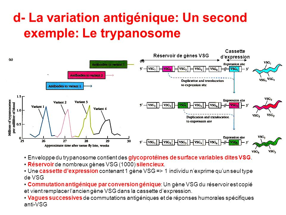 d- La variation antigénique: Un second exemple: Le trypanosome
