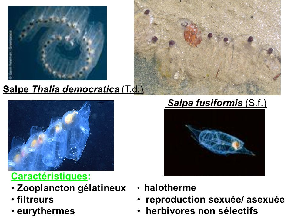Salpe Thalia democratica (T.d.) Salpa fusiformis (S.f.)