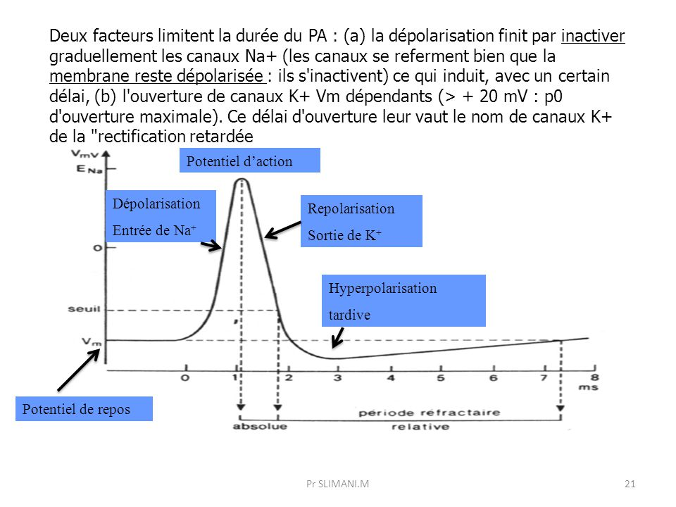 Deux facteurs limitent la durée du PA : (a) la dépolarisation finit par inactiver graduellement les canaux Na+ (les canaux se referment bien que la membrane reste dépolarisée : ils s inactivent) ce qui induit, avec un certain délai, (b) l ouverture de canaux K+ Vm dépendants (> + 20 mV : p0 d ouverture maximale). Ce délai d ouverture leur vaut le nom de canaux K+ de la rectification retardée