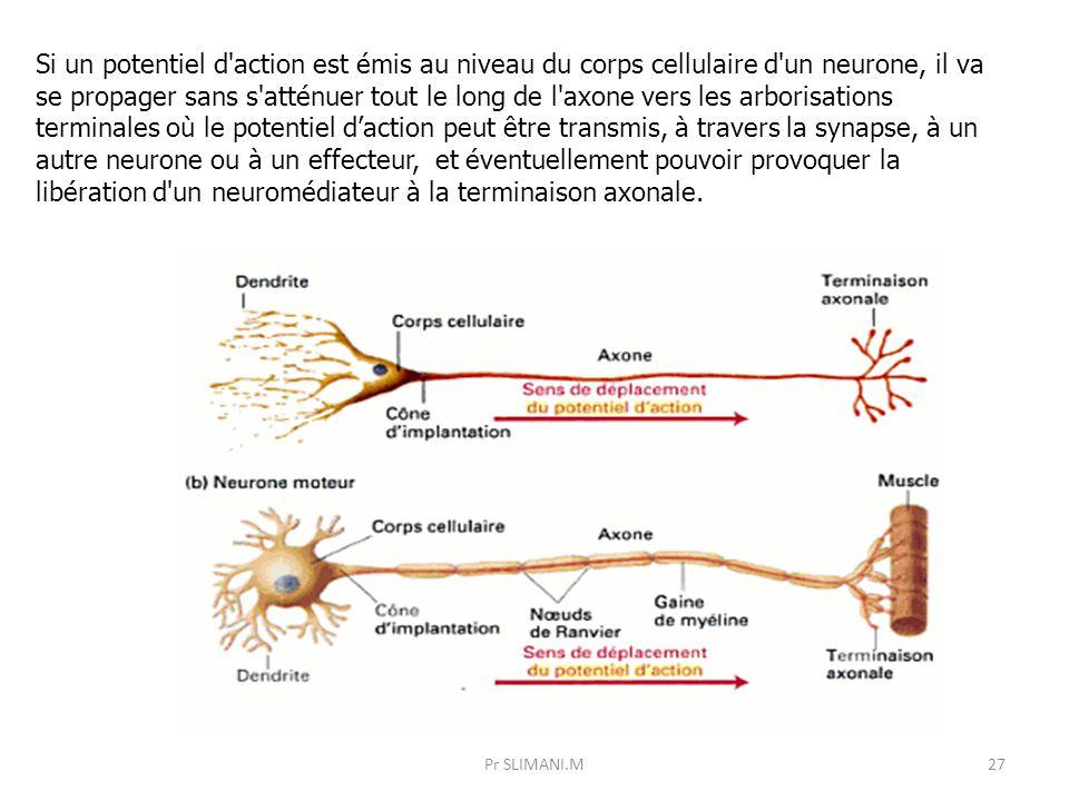 Si un potentiel d action est émis au niveau du corps cellulaire d un neurone, il va se propager sans s atténuer tout le long de l axone vers les arborisations terminales où le potentiel d'action peut être transmis, à travers la synapse, à un autre neurone ou à un effecteur, et éventuellement pouvoir provoquer la libération d un neuromédiateur à la terminaison axonale.