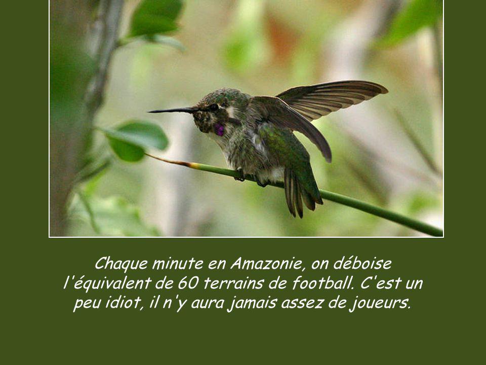 Chaque minute en Amazonie, on déboise l équivalent de 60 terrains de football.