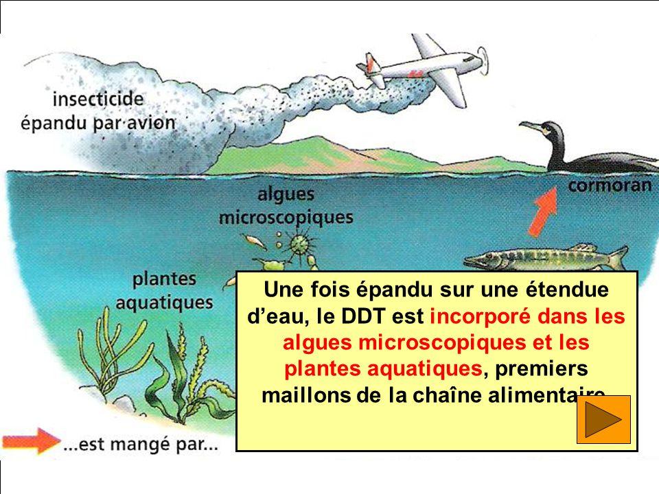 Une fois épandu sur une étendue d'eau, le DDT est incorporé dans les algues microscopiques et les plantes aquatiques, premiers maillons de la chaîne alimentaire.