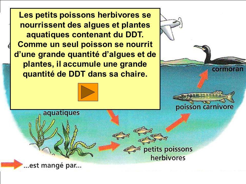 Les petits poissons herbivores se nourrissent des algues et plantes aquatiques contenant du DDT.