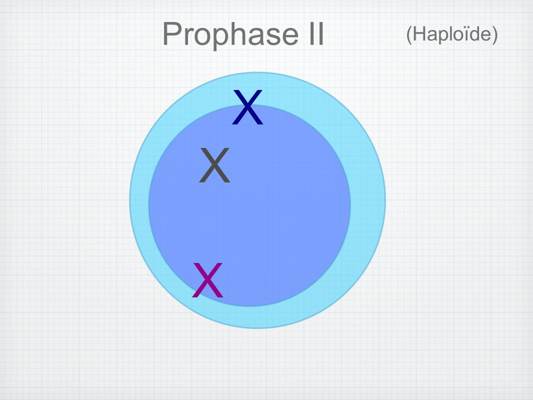 Prophase II (Haploïde) X