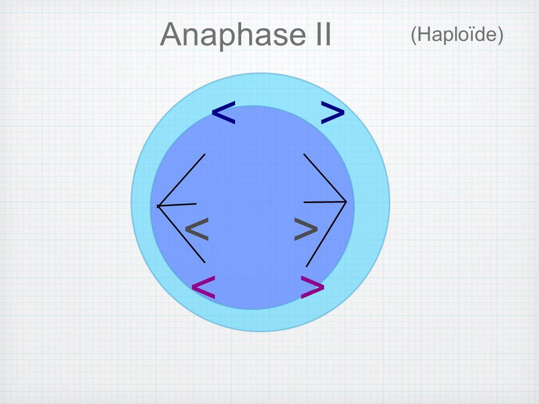 Anaphase II (Haploïde) < >