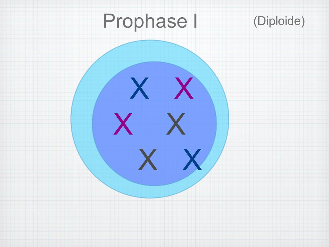 Prophase I (Diploide) X X X X